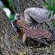 Common kestrel (Falco tinnunculus) Juvenile - PhotoDune Item for Sale