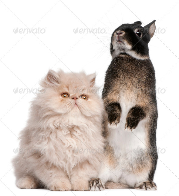 Young Persian cat and rabbit in front of white background - Stock Photo - Images