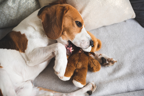 Cute Beagle dog on sofa with teddy bear on sofa. - Stock Photo - Images