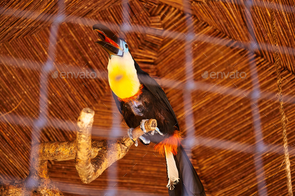 Beautiful Toucan in captivity - Stock Photo - Images