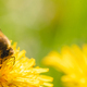 Honey bee covered with yellow pollen collecting nectar from dandelion flower. - PhotoDune Item for Sale