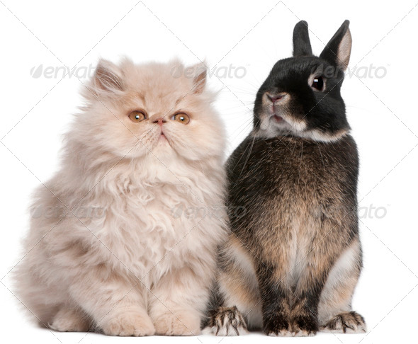 Young Persian cat and rabbit sitting in front of white background - Stock Photo - Images