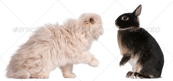 Young Persian cat and rabbit playing in front of white background - Stock Photo - Images