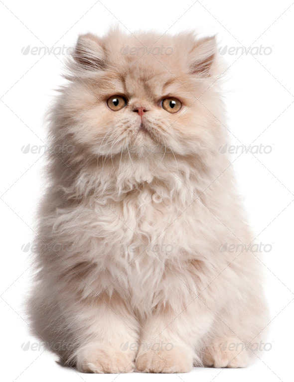 Young Persian cat sitting in front of white background - Stock Photo - Images