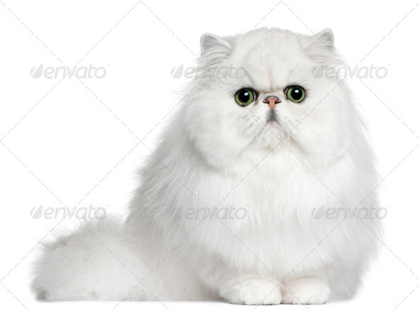 Persian (8 months old) - Stock Photo - Images