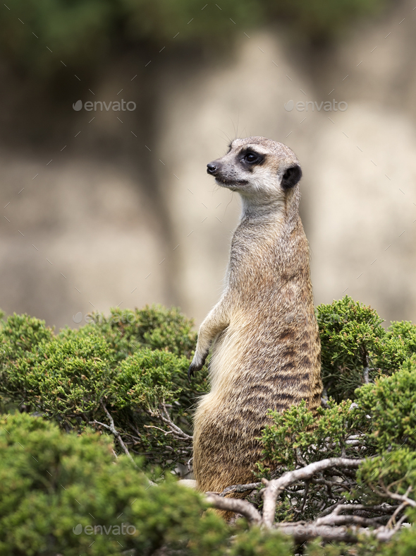 Meerkat on a green bush - Stock Photo - Images