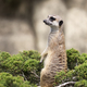 Meerkat on a green bush - PhotoDune Item for Sale