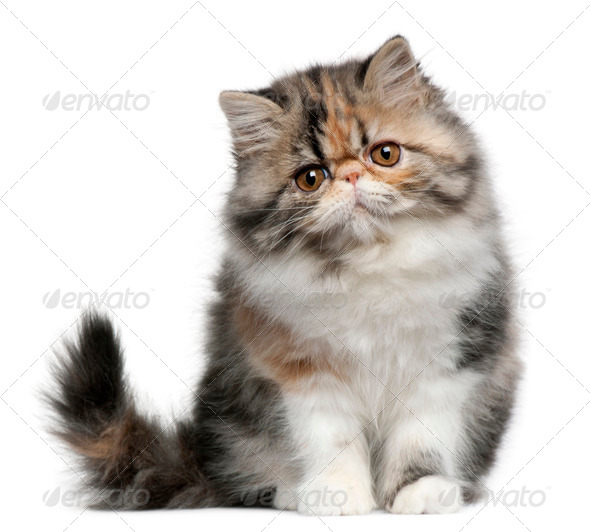 Persian kitten (3,5 months old) - Stock Photo - Images