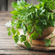 Green fresh parsley on the wooden table - PhotoDune Item for Sale