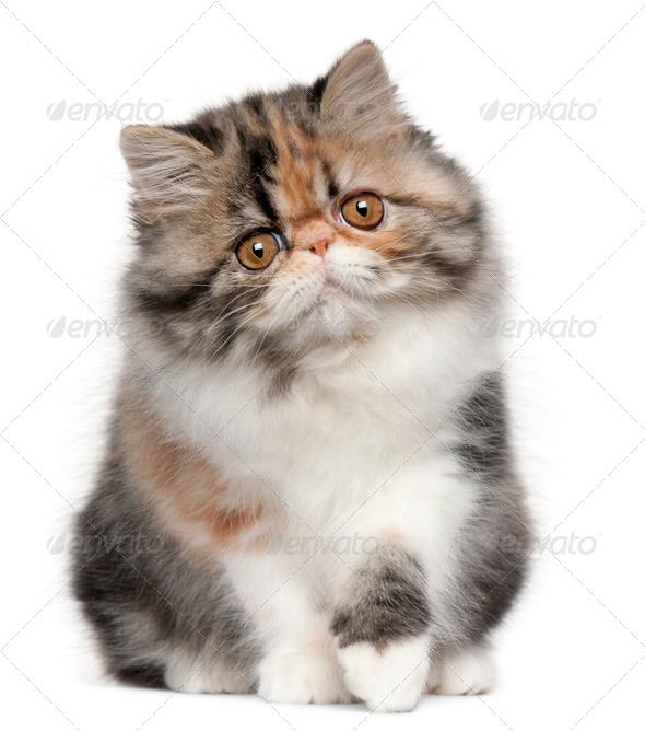 Persian (8 months old), Persian kitten (3,5 months old) - Stock Photo - Images