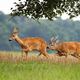 Roe deer male sniffing female in rutting season on the meadow - PhotoDune Item for Sale