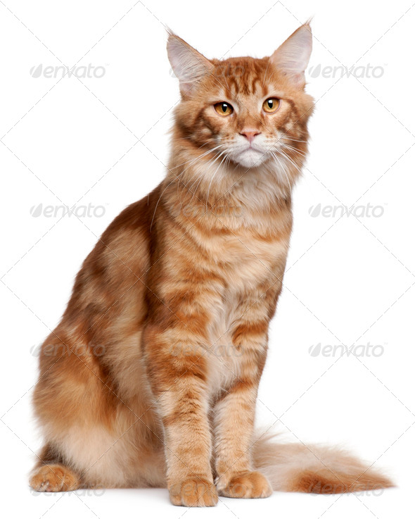 Maine Coon (9 months old) - Stock Photo - Images