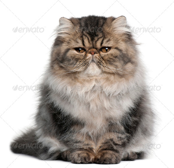 Persian kitten (4 months old) - Stock Photo - Images
