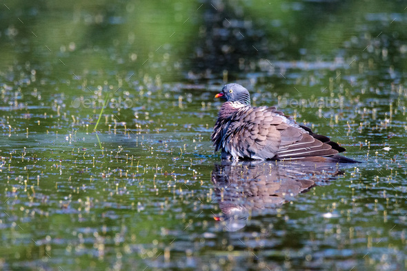 Wood Pigeon or Columba palumbus - Stock Photo - Images