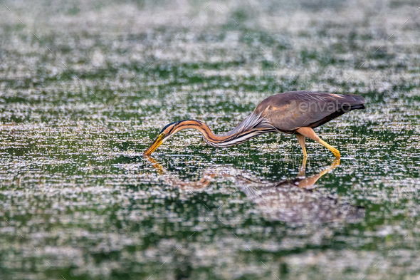 Purple heron wading in the pond - Stock Photo - Images