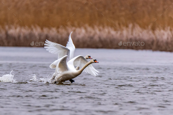 View of mute swan or Cygnus olor take wing on water - Stock Photo - Images