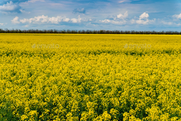 Field of bright yellow rapeseed in spring - Stock Photo - Images