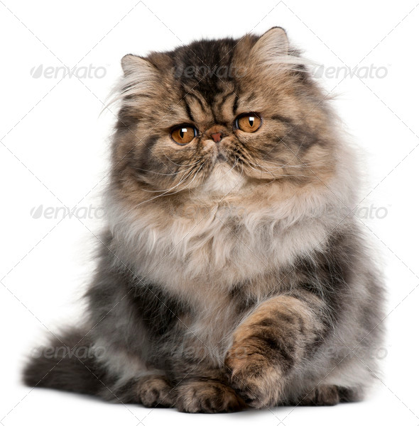 Persian kitten (4 months old), Persian (5 months old) - Stock Photo - Images