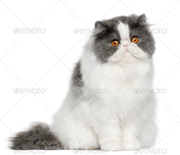 Persian (10 months old) - Stock Photo - Images