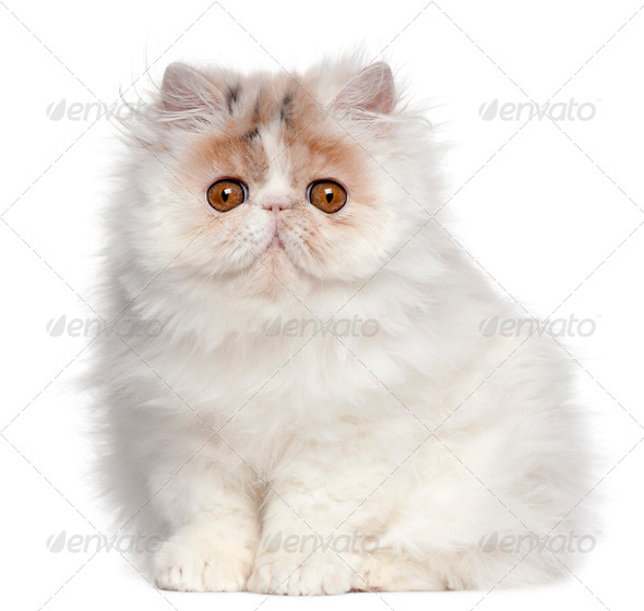 Persian (10 months old), Persian kitten (3 months old) - Stock Photo - Images