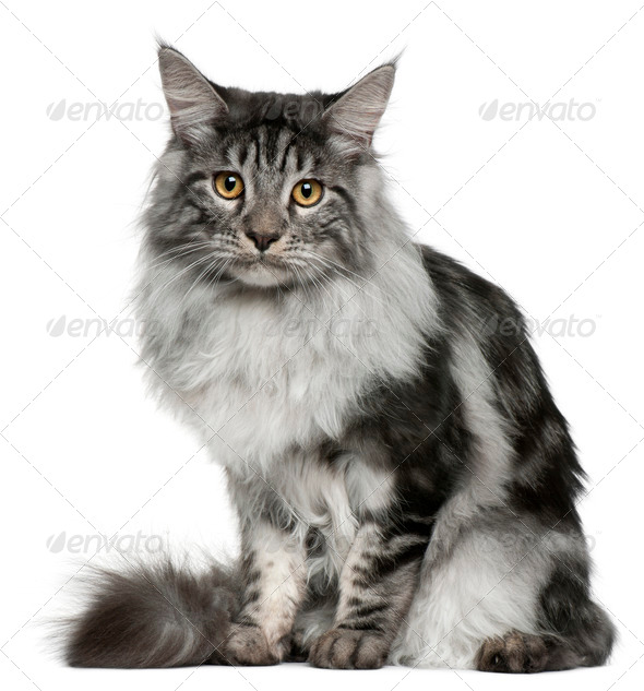 Maine Coon (7 months old) - Stock Photo - Images