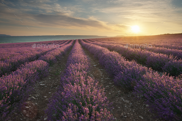 Meadow of lavender at sunrise. - Stock Photo - Images