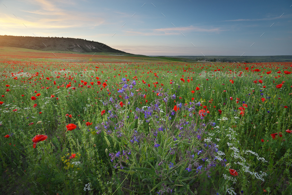 Spring medoaw of flowers at sunset. - Stock Photo - Images