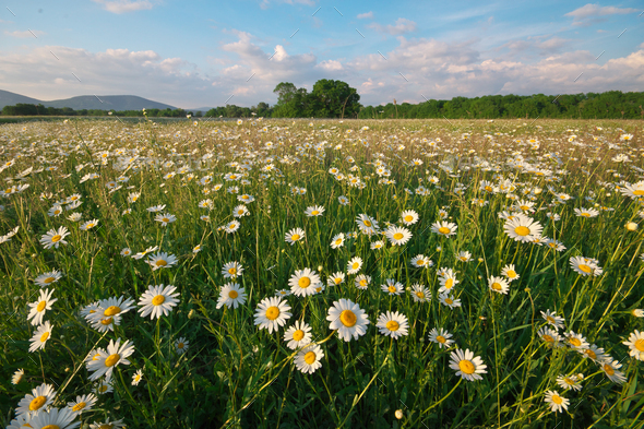 Spring daisy flowers in mountain meadow. - Stock Photo - Images