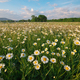 Spring daisy flowers in mountain meadow. - PhotoDune Item for Sale