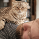 Cute Scottish Fold cat lies on chest of its sleeping owner - PhotoDune Item for Sale