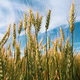 Spikelets of Triticum wheat in field against blue sky with white clouds - PhotoDune Item for Sale