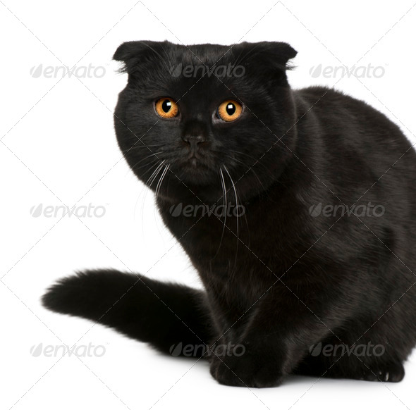 Scottish Fold (7 months old) - Stock Photo - Images