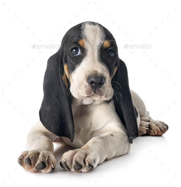 puppy bernese Schweizer Laufhund - Stock Photo - Images