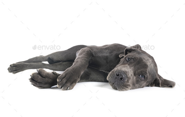 puppy great dane - Stock Photo - Images