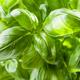 Fresh basil leaves - PhotoDune Item for Sale