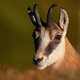 Portrait of tatra chamois looking to the camera - PhotoDune Item for Sale