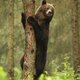Majestic brown bear climbing on tree in summer forest - PhotoDune Item for Sale