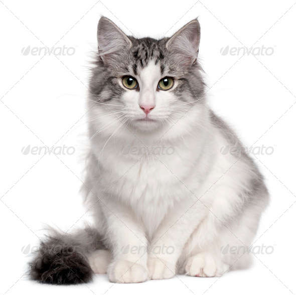 Norwegian Forest Cat (5 months old), Norwegian Forest Cat (5 mon - Stock Photo - Images