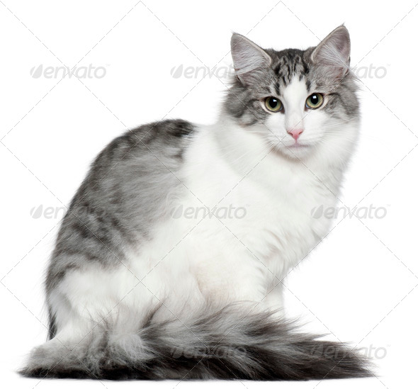 Norwegian Forest Cat (5 months old) - Stock Photo - Images