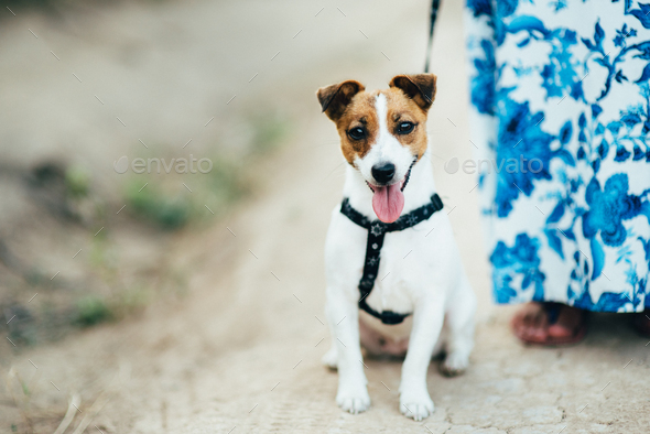 a small dog of the Jack Russell Terrier breed on a walk - Stock Photo - Images