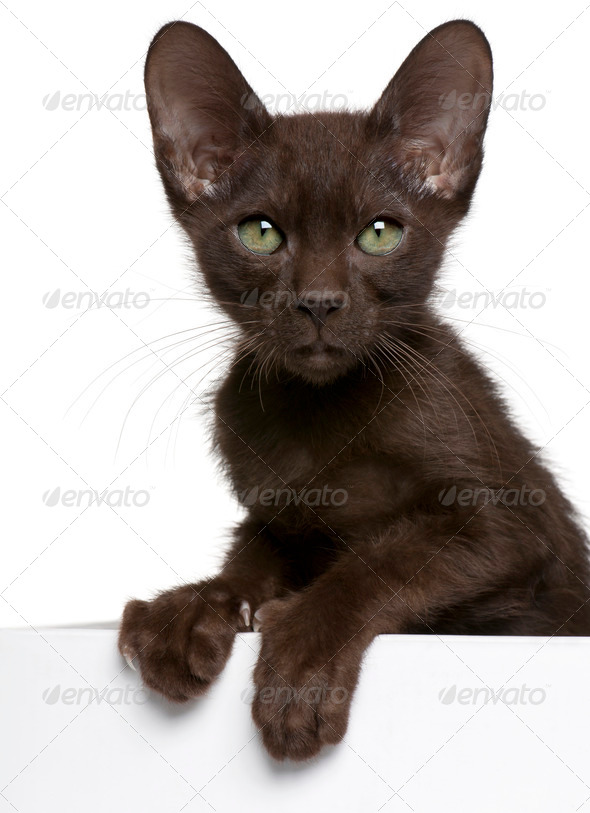 Havana Brown kitten (15 weeks old), Havana Brown kitten (15 week - Stock Photo - Images