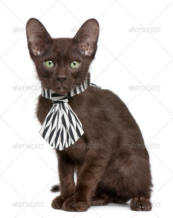 Havana Brown kitten (15 weeks old) - Stock Photo - Images
