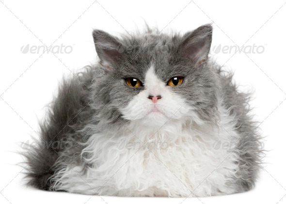Selkirk Rex (5 months old) - Stock Photo - Images
