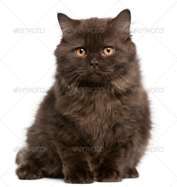 British Longhair kitten (3 months) - Stock Photo - Images