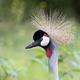 Crowned crane a portrait - PhotoDune Item for Sale