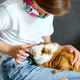 Little girl in mask playing with red guinea pig, cavy at home at sofa while in quarantine. - PhotoDune Item for Sale