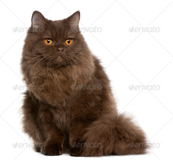 British Longhair (5 months old) - Stock Photo - Images