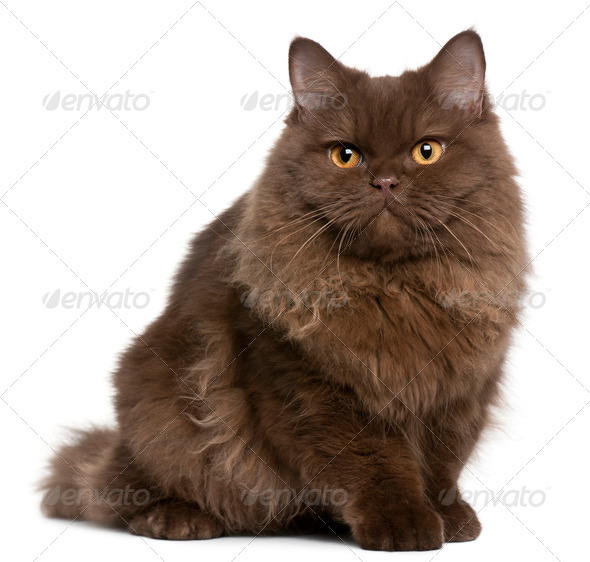 Selkirk Rex (5 months old), British Longhair kitten (3 months ol - Stock Photo - Images