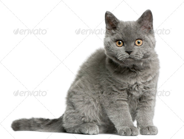 Selkirk Rex kitten (3 months old) - Stock Photo - Images