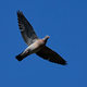 Common wood pigeon (Columba palumbus) in flight with blue skies in the background - PhotoDune Item for Sale